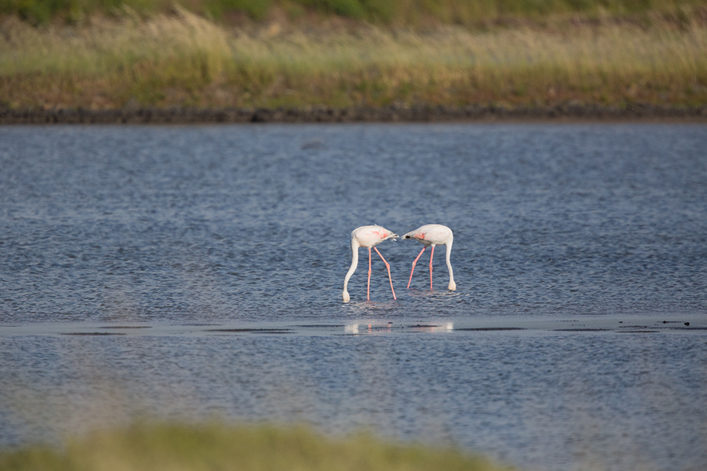 Greater Flamingo 2014-05-02