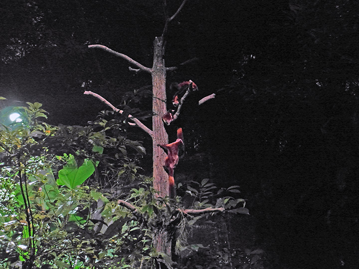 singapore night safari flying squirrel