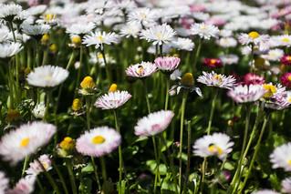 Flowers of Romania