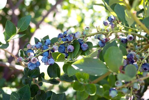 blueberry25
