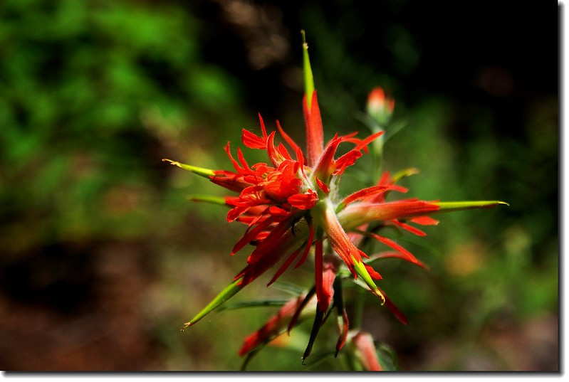 Wyoming Paintbrush(Narrowleaf Paintbrush) 3