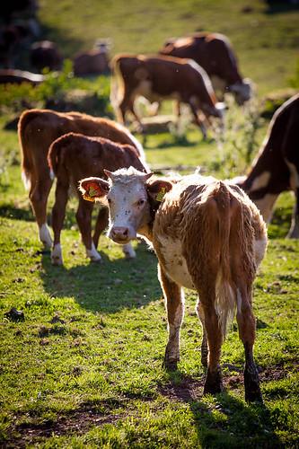 sunset sun look field grass backlight cow cows farm