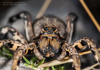 Tarantel, Lycosa tarantula