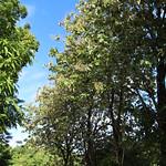 Tectona grandis trees
