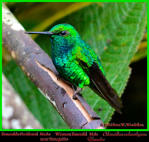 hummingbird ngc npc emerald colibri esmeralda chlorostilbon pichincha nanegalito westernemerald chlorostilbonmelanorhynchus esmeraldaoccidental westernemeraldhummingbird westernemeraldmale westernemeraldinecuador