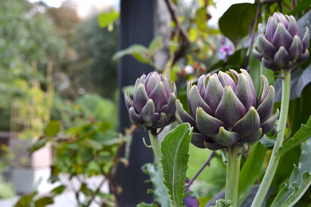 Cynara scolymus (artichoke) in the Herb Garden. Photo by Morrigan McCarthy.