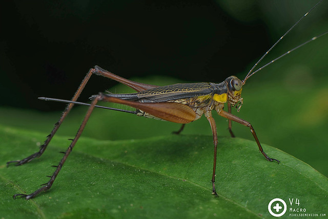 Nisitrus vittatus ♀- Common Bush Cricket
