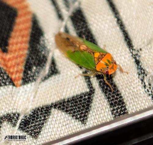 macro verde green fauna méxico insect nikon click 1855 bichos chiapas insecto tamayo macrofotografía mascarita magictime vsco nikond5100 tamayomagic