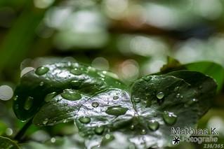 Nasse Blätter | Projekt 365 | Tag 236
