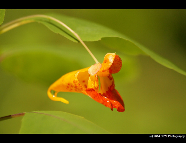 Orange Jewelweed (Impatiens capensis)