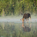 Bull moose in the mist IV