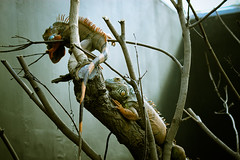 Lizards at Paris Zoo