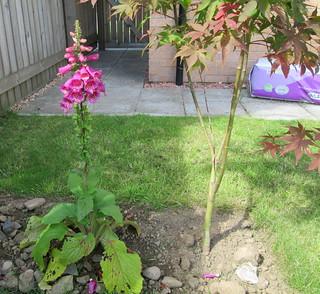 Foxglove in my garden
