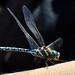 Dragonfly one DSC_3048 by hummingbirdzoo