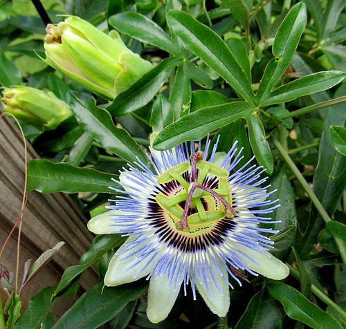greenleaves vines passiflora passionflower mailboxpost whitepurpleblue stokesdalenc longslender summer2014 showyscentedflowers 5onasinglenode longnonwoodystem