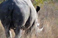 Rhino, Kruger National Park, South Africa