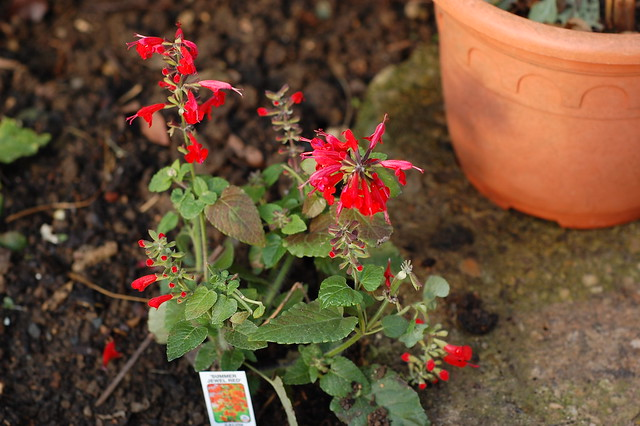 Small plant with bright red flowers
