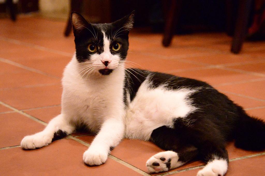 徐羅伐的貓