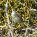 Small photo of Sedge Warbler. Acrocephalus schoenobaenus