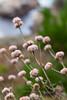 Eriogonum sp. (Buckwheat)
