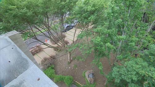 綠意盎然的台灣櫸木去年才剛移植