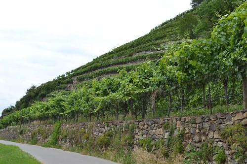 Kiviterrassidel viinapuud