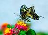 Swallowtail Butterfly 01