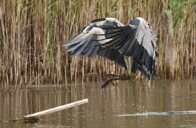 Grey Heron Landing on his perch (Ardea cinerea)