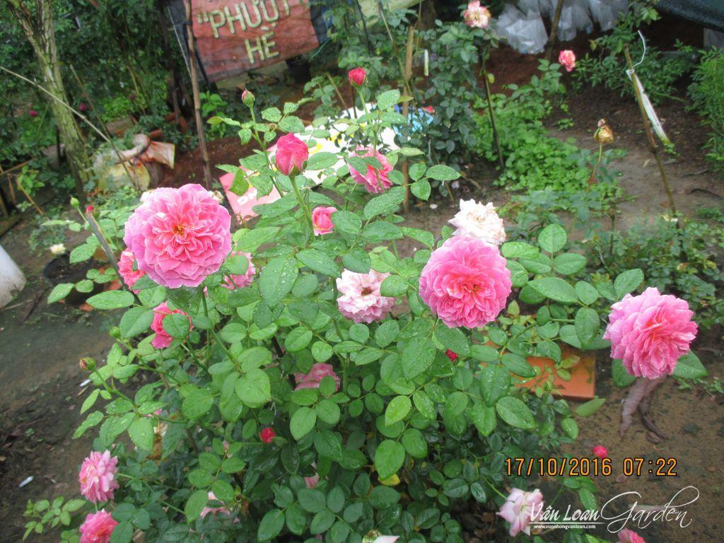 hoa hong ngoai claude monet (1)-vuonhongvanloan.com
