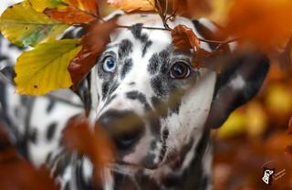 mustang - dalmatien
