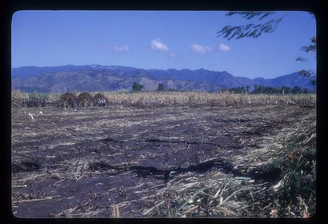 MS199--White birds in sugarcane harvest field