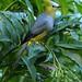 Long-tailed Silky-flycatcher by Jillandcamera