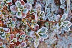 Frosty azalea