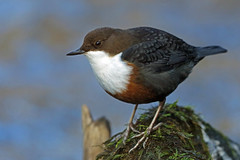 HolderWhite-throated Dipper, Lanthwaite Wood, Cumbria, England