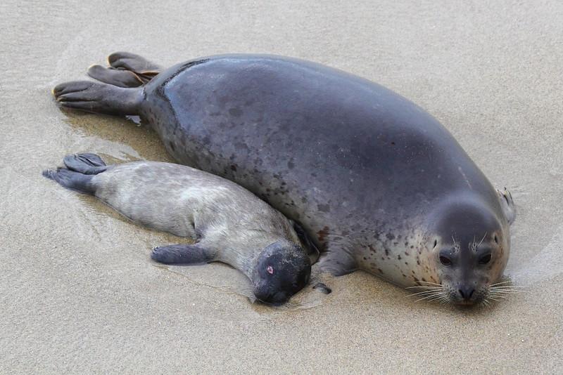IMG_0975 Harbor Seal Stillborn Pup