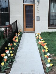 sidewalk adorned with tulips