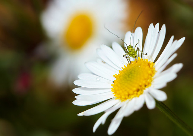 flower, bug, macro
