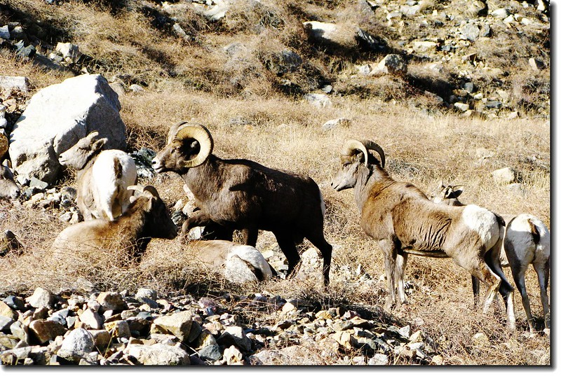 Bighorn Sheep in Georgetown 4