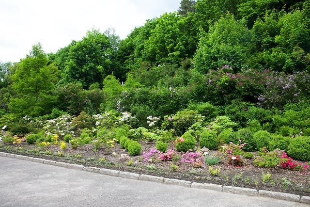 rhododendrons. Botanic garden. Lviv, Ukraine