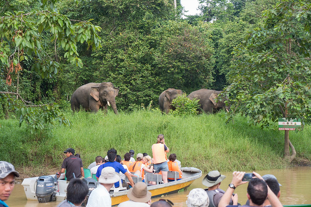 Pigmy Elephants Kinabatangan River boat.jpg What animals can you see in Borneo? | Amazing animals in Borneo | How to see orangutans in the wild | How to see pygmy elephants | Can you see flying lemurs in Borneo? | See sun bears in Borneo