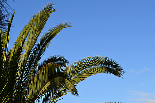 Palm trees and blue skies, Tenerife