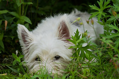 dog breed, animal, puppy, flower, dog, grass, mammal, cairn terrier, west highland white terrier, terrier,