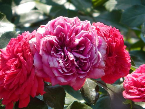 роза5