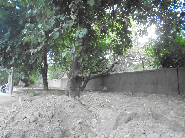 A tree near IIT gate; the area around the tree had been concretised. The tree got weak and fell during a storm in June 2014.