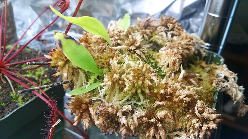 Utricularia longifolia.