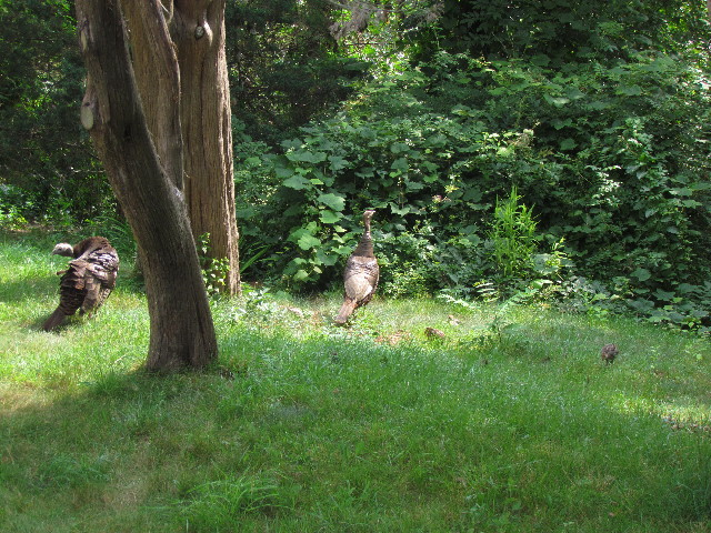 Turkey hens and poults3 7:26:14