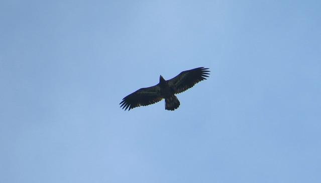 Bald Eagle, Prospect Park