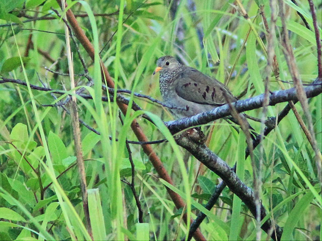 Common Ground-Dove 2-20140817