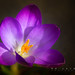 flower - snow crocus mi2