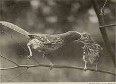 """Image from page 56 of """"The book of birds; common birds of town and country and American game birds"""" (1921)"""